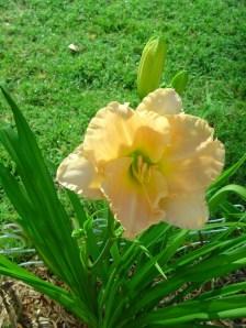 garden flowers june 03_resize